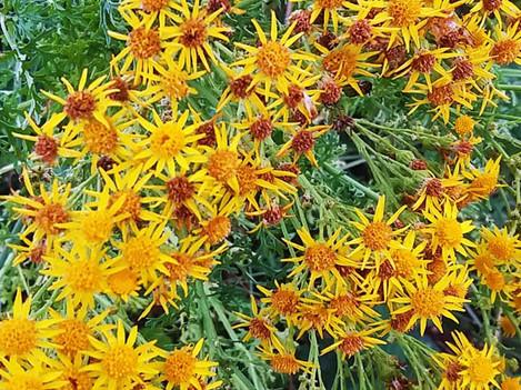 yellow wild daisies.jpg