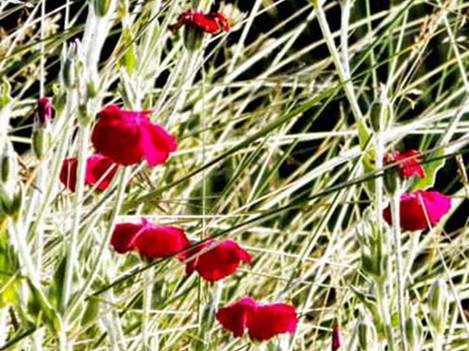 Carnations along the velvet trail
