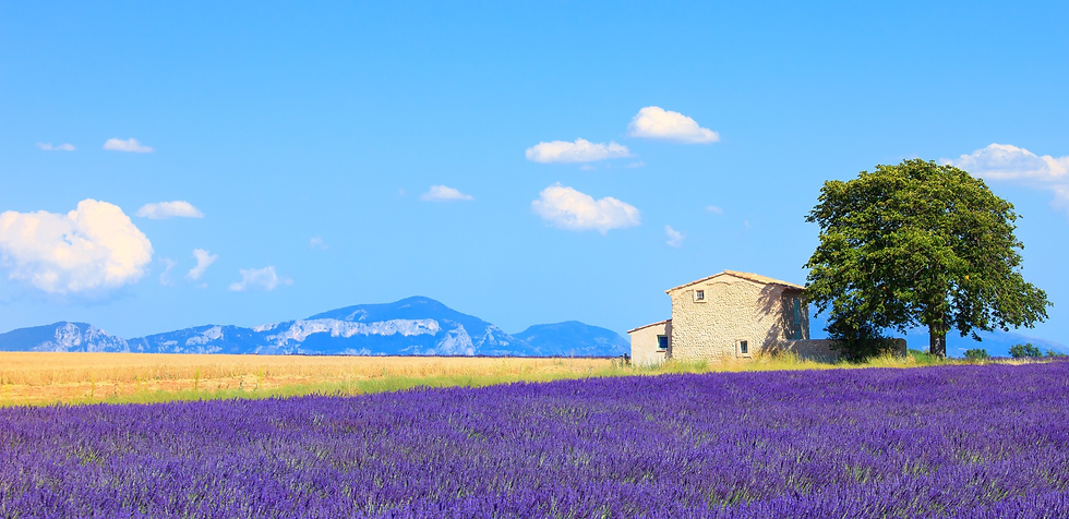 lavendar-field.png