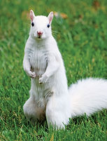 White-Squirrel-looking-at-me.jpg