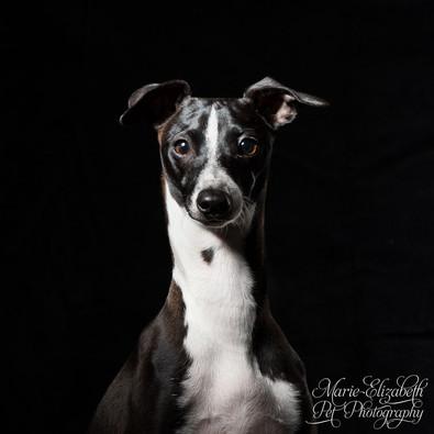 MEP-Photo-ItalianGreyhound-Dog-Sq2.jpg