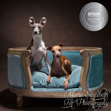 MEP-Photo-ItalianGreyhounds_Dog21-Sq.jpg