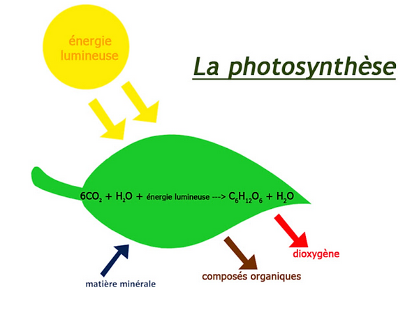 Photosynthèse.png