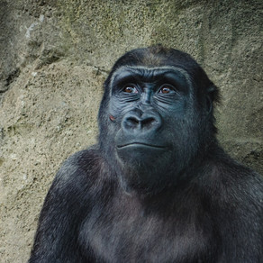 Aging Chimps Are Living Their Best Life
