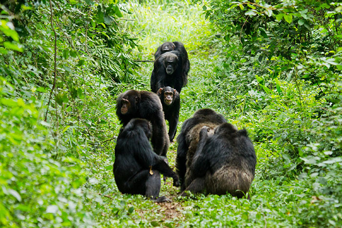 A group of male chimpanzees approached another group of chimpanzees grooming together in Kibale National Park in Uganda. Photo: Ronan Donovan