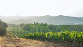 Can Water Saving Traits Help Wine Survive Climate Change?