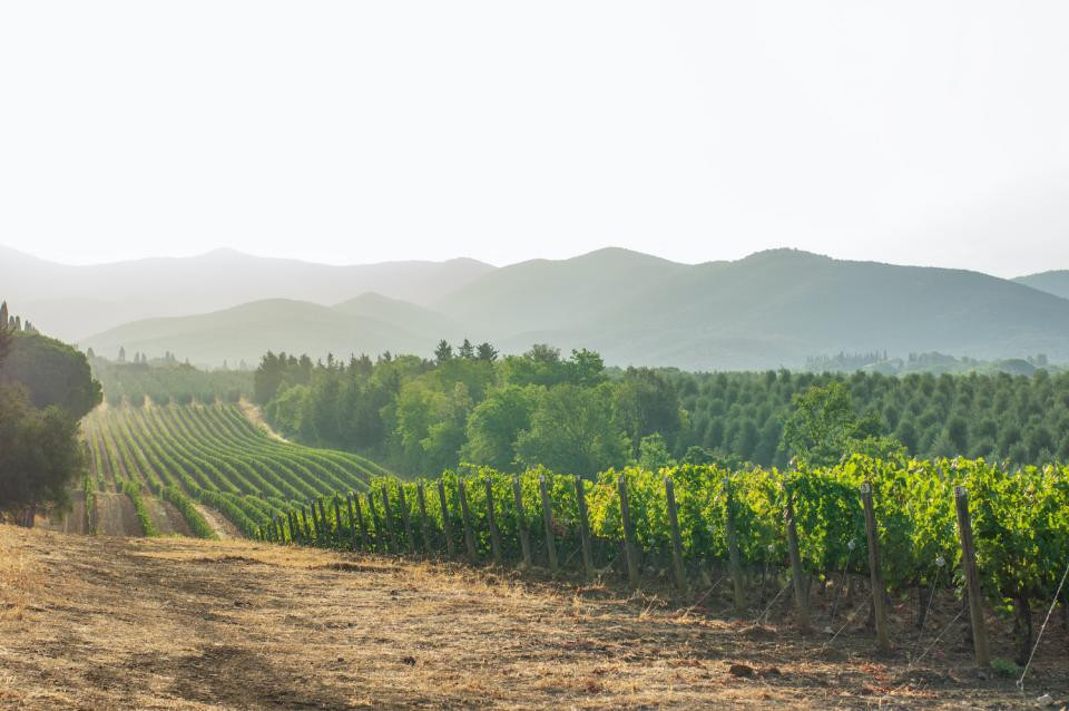 Wine grapes from regions that are more prone to stress have traits that could help them cope with climate change. (Getty)