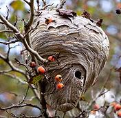 nid frelon asiatique ROVE BERI.jpg