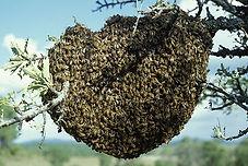 essaim abeilles ROVE BERI.jpg