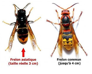 frelons_différences_2_ROVE_BERI.jpg