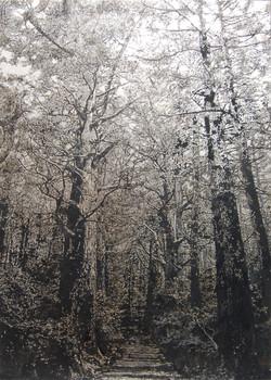 Tree XIII-Kumano Trail (熊野古道)