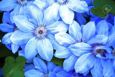 110832416-blue-flowers-closeup-natural-background-beautiful-blue-flower-.jpg