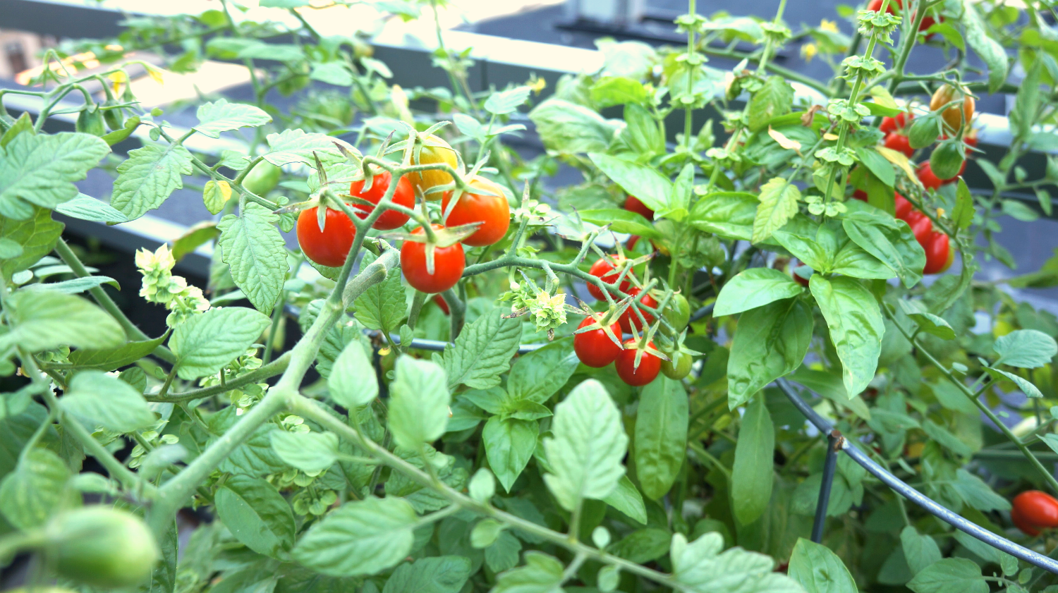 Fresh tomatoes on a green landscape