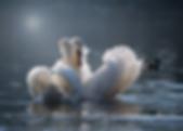 swan-4013225_960_720.webp