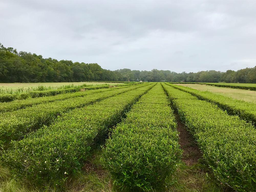 Tea plants at the Charleston Tea Plantation