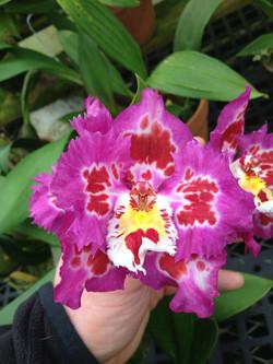 Odontoglossum Hybrid pic