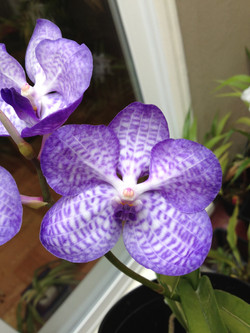 Vanda Coerulea Orchid pic