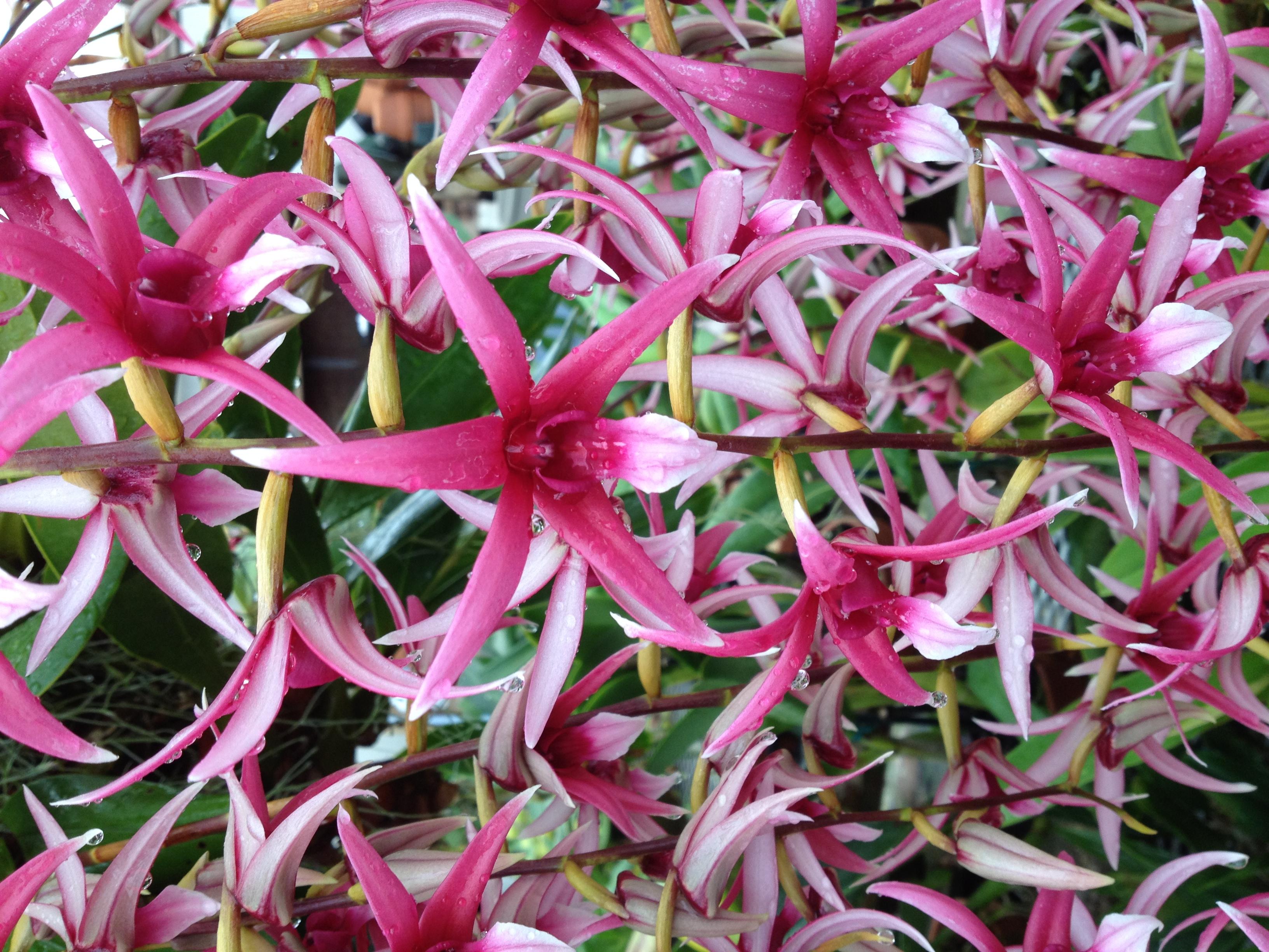 Epigenium orchid pic