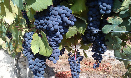 Barolo druiven 2.jpg