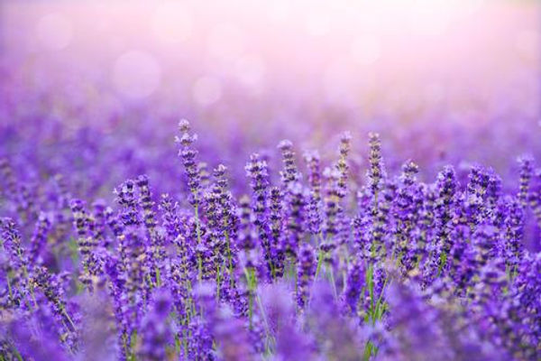 Lavender_Fields_800x.jpg