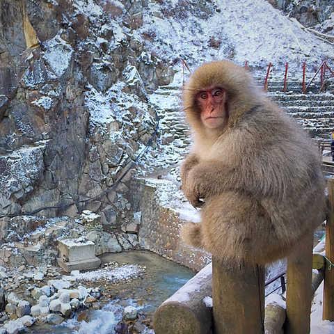 日本  |  長野縣  |  地獄谷野猿公苑