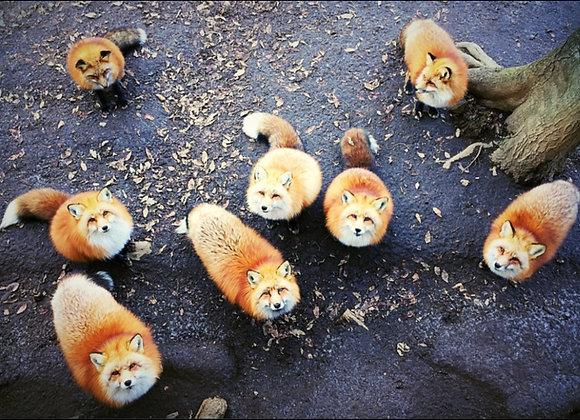 狐狸明信片 #07
