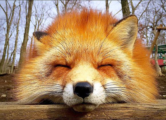狐狸明信片 #08