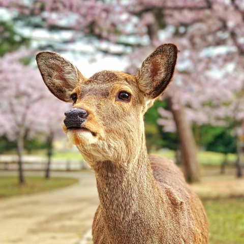 日本  |  奈良縣  |  奈良公園