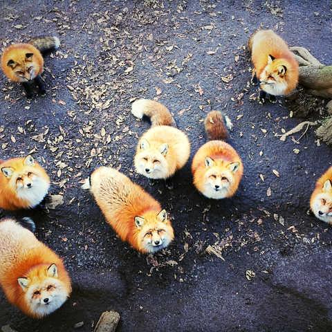 日本  |  宮城縣  |  藏王狐狸村