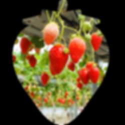 高設栽培で育ついちご