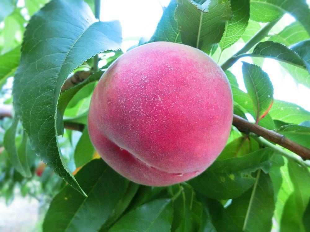 peach city, fuefuki, yamanashi, japan, tourism, monde, winery, grape, peach, fruit, travel, food, nature, hot spring
