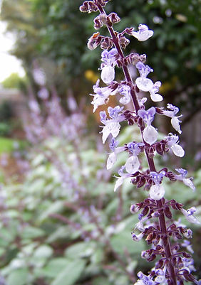 Plectranthus argentatus Flower - Le Page Design - Landscape