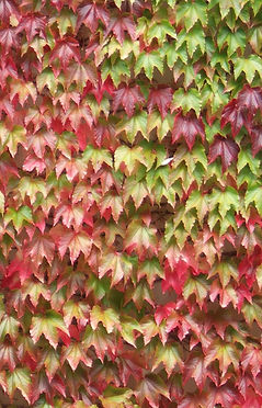 Boston Ivy, Autumn