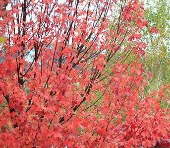Acer 'October Glory' Maple - Le Page Design - Landscape
