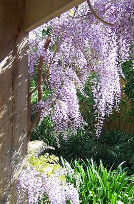 Wisteria Flower, Pergola - Le Page Design - Landscape