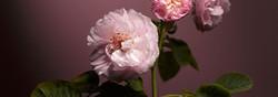 Jubilee-FirstLove-Rose