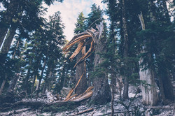 Fallen Tree