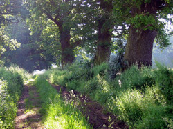 Oak walk, Surrey