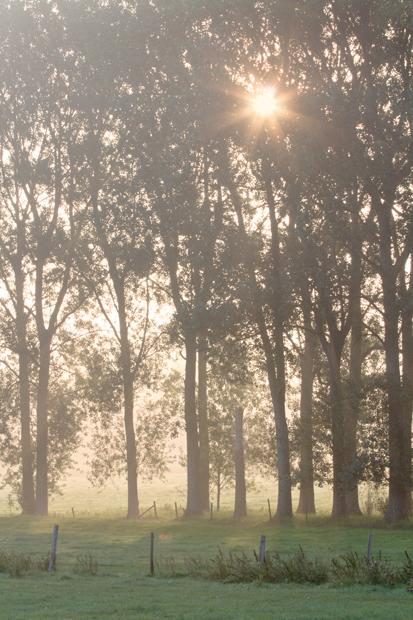 Morning, Black Poplars