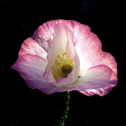 Light-filled Poppy