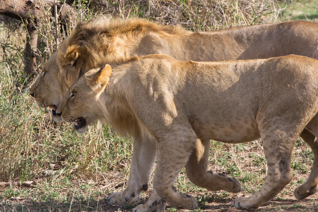 In Step - Serengeti Lions