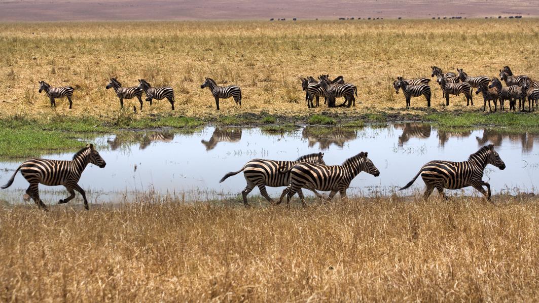 Zebra Crossing, Tarangire NP