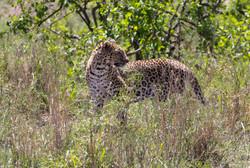 Leopard Pause, Serengeti