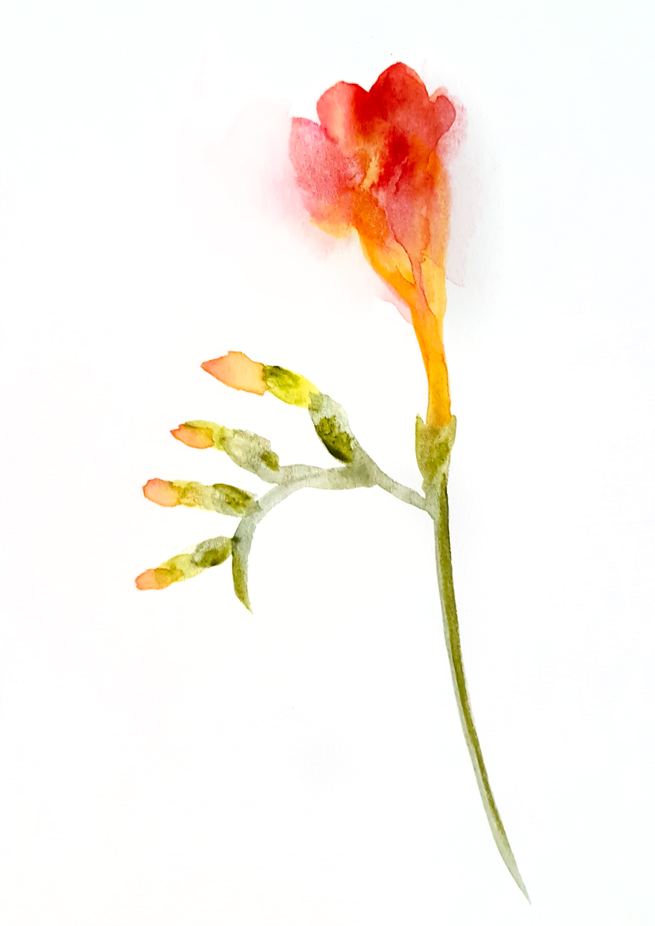 Single freesia