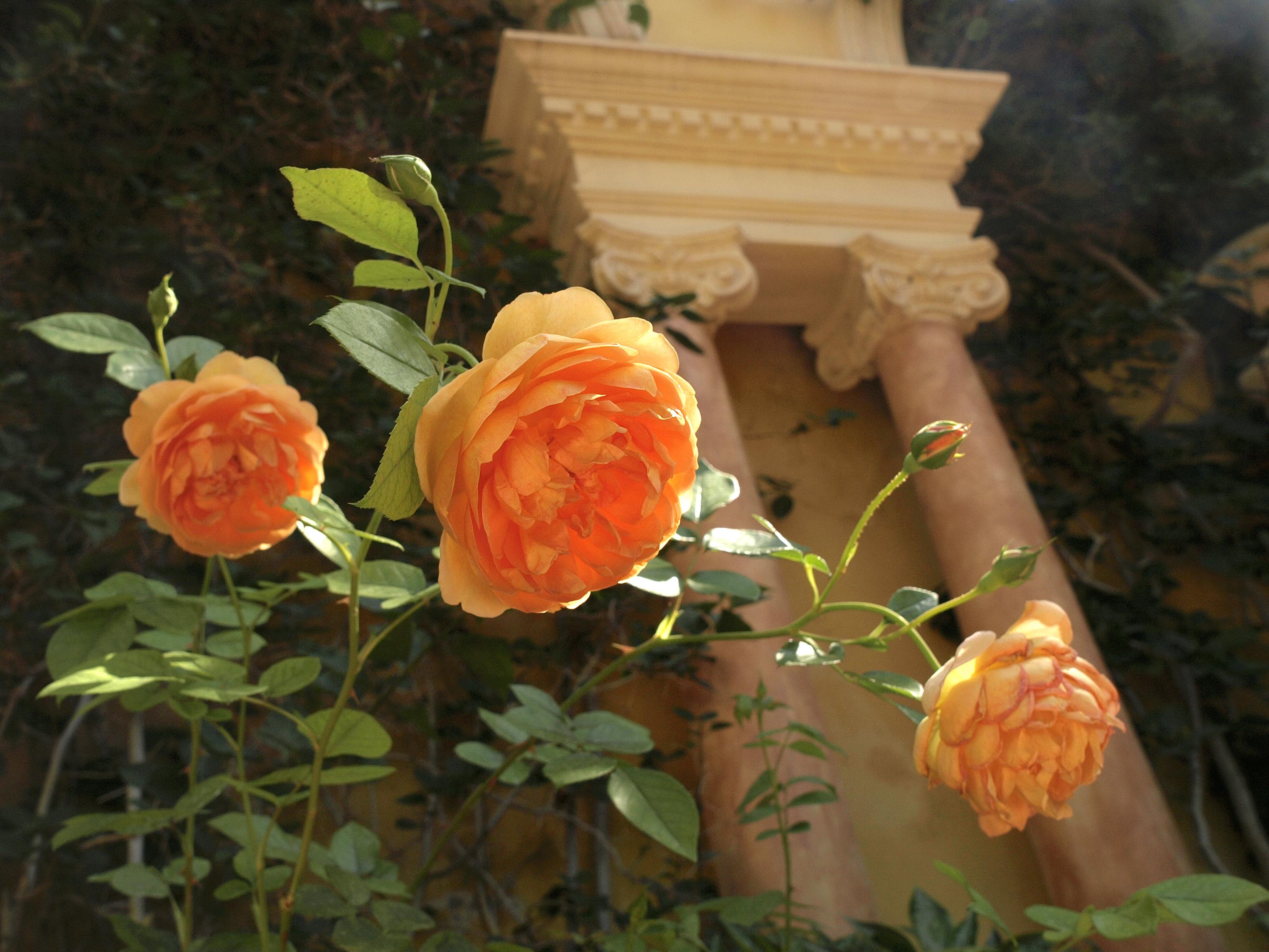 Cap Ferrat roses