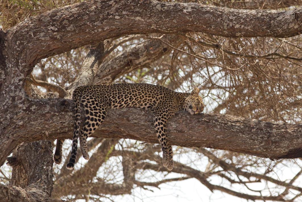 Leopard Pleasure, Tarangire NP