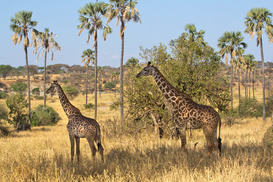 Giraffe Contemplation, Tarangire NP