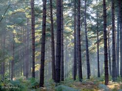 Conifer Sunlight