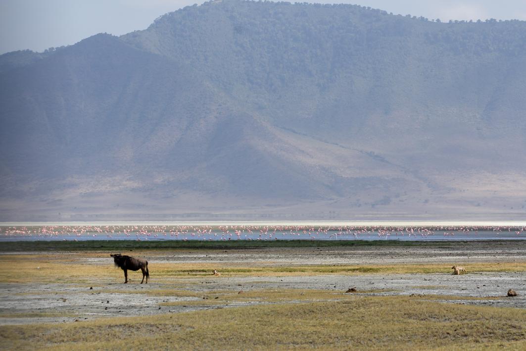 Wildebeast,jackel, Ngorongoro Crater