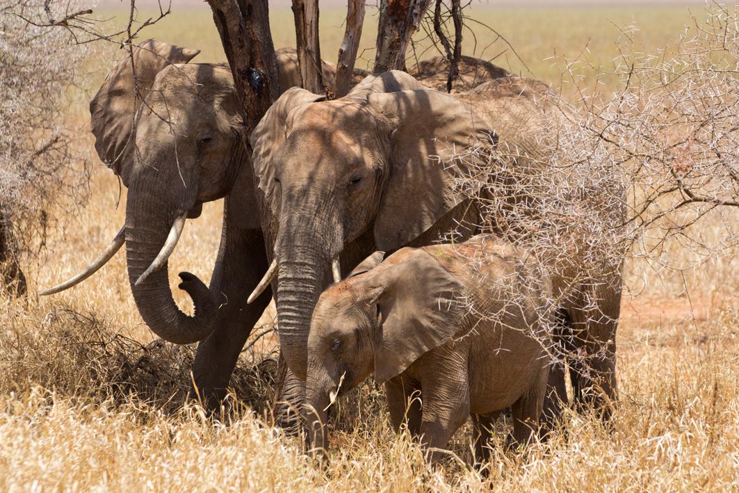 Elephant Family, Tarangire NP